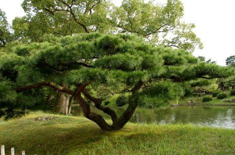 Female pine tree