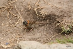 I believe this is a Rufous-collared Sparrow.