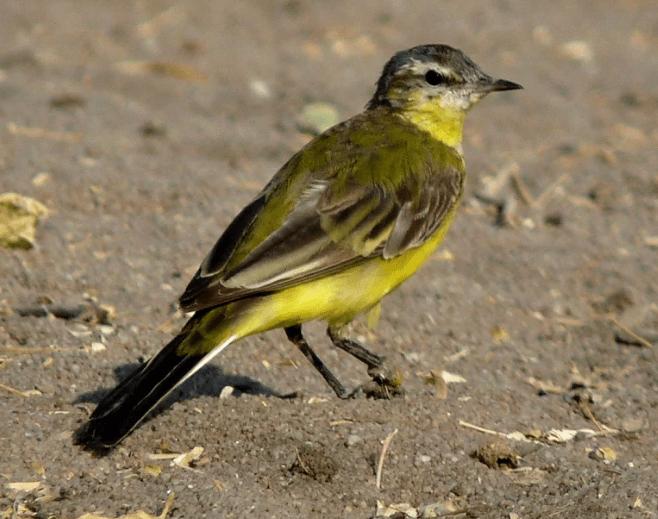yellow wagtail nalsarovar