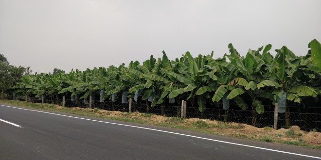 Banana tree Farms on the way of Savli