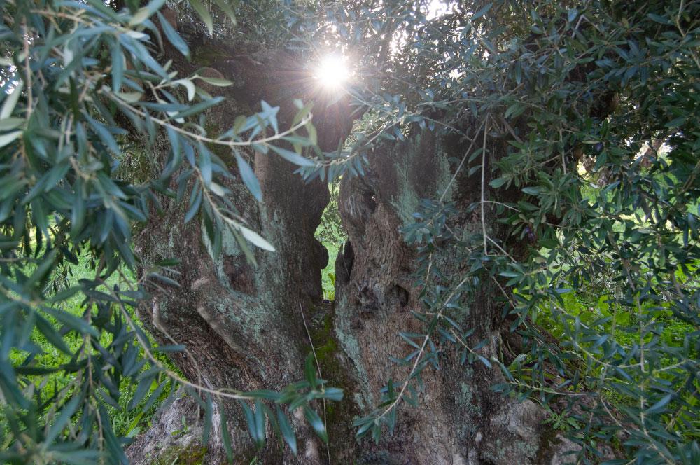 樹齢1000年のオリーブオイルの木。上を伐採するので高さはそれほどないですが、幹が歴史を語ります。