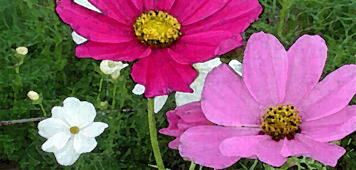 cosmos-flower-cropped