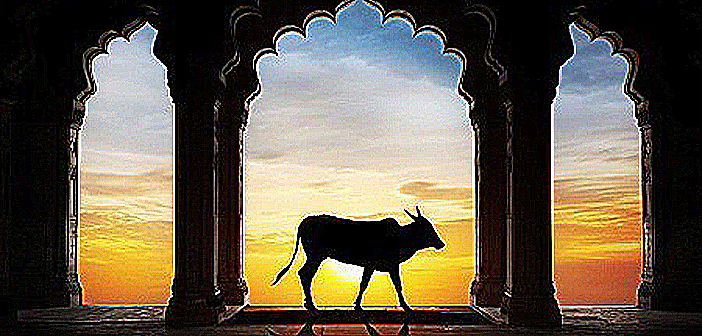 20841694 - holy indian cow silhouette in old temple arch at dramatic orange sunset sky background