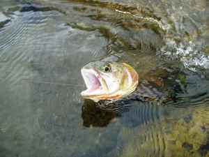 A rainbow trout emerges.