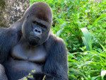 gorilla-photo_2