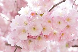 japanese-cherry-trees-724289__180