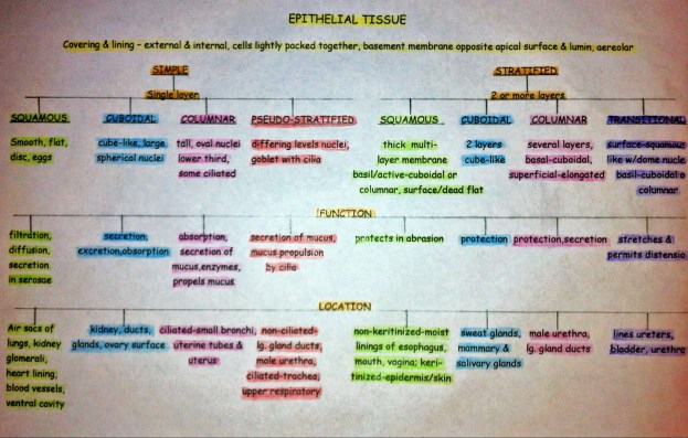 The Best Epithelial Tissue Flow Chart