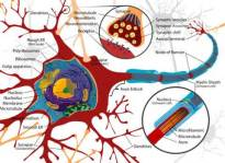 Labeled Neuron