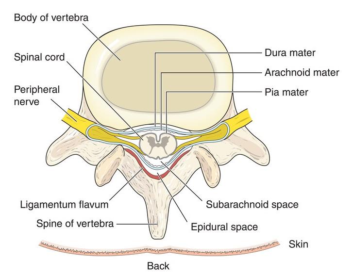 cord anatomy