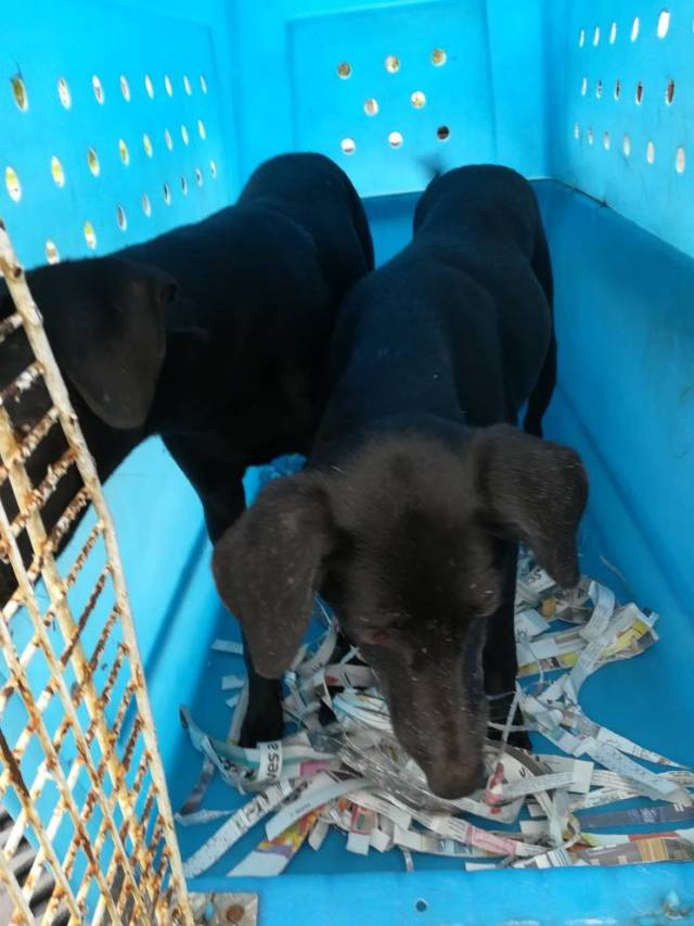 Neutering Aid For 2 Dogs In Klang (Sim Kwee Lan's)