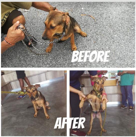 Neutering Aid For 3 Dogs In Klang (Sim Kwee Lan's)