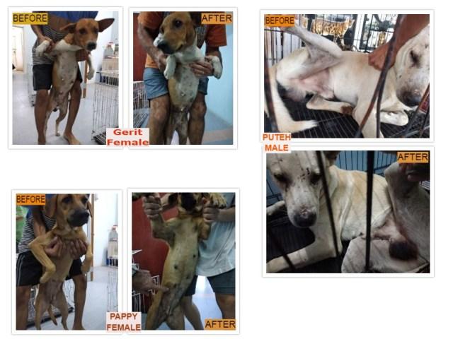 Neutering Aid For 3 Dogs In Lumut, Perak (Mohd Khalil Sofi Bin Harun's)