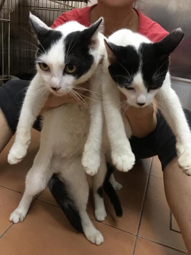 Neutering Aid For 2 Cats In Cheras Indah (Tan Chok Yen's)