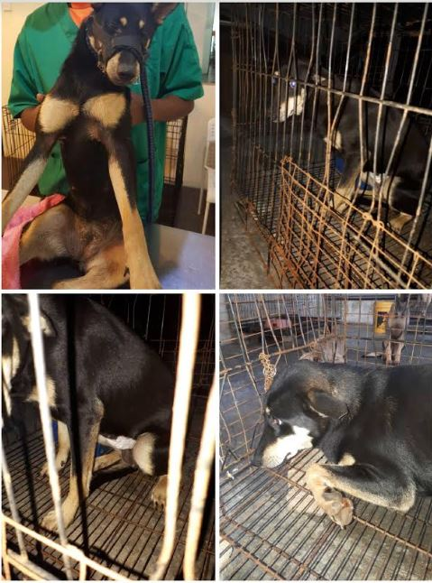 Neutering Aid For 2 Dogs In Rawang (Liew Kah Yan's)