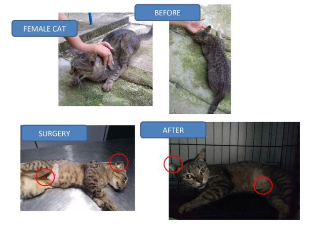 Neutering Aid For 1 Cat In Mahang, Kedah (Lee Ming's)