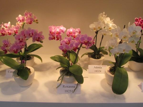Phalaenopsis-Little-Ladies-photo-newPlantsandFlowers