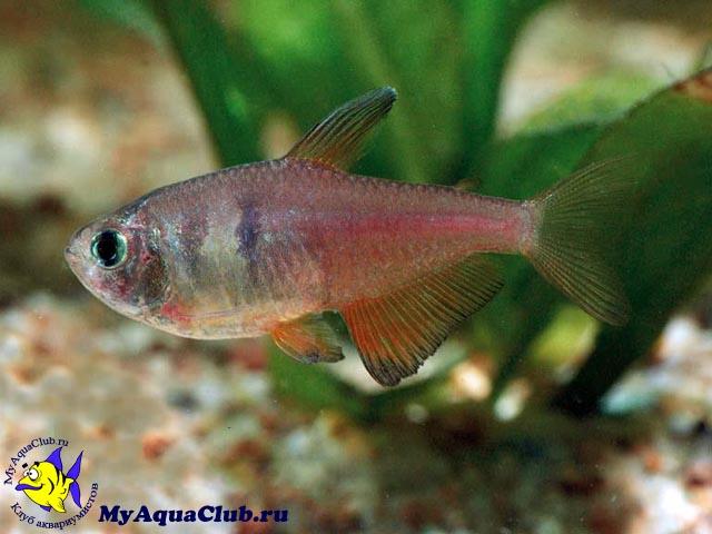 Тетра Фон Рио удивительный представитель харациновых в вашем аквариуме