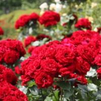 I give to you my friends, Roses at Shinjyuku gyoen, Tokyo