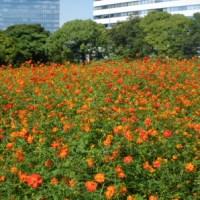 Cosmos sulphureus at Hama-rikyu garden, Tokyo