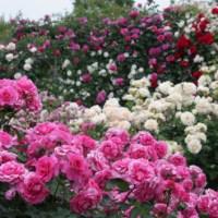 Little Rose Garden at Menuma in Saitama