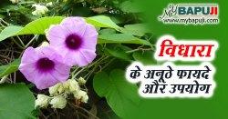 विधारा के अनूठे फायदे ,गुण ,उपयोग और नुकसान | Vidhara Benefits and Uses in Hindi