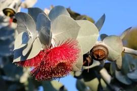 Eucalyptus Moisturizer Beard