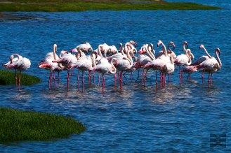 Flamingos in Lüderitz