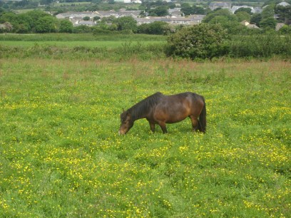 Horse knee-deep in buttercups