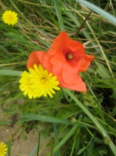 Poppies with dandelions