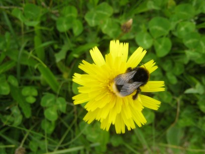 Bee on a dandelion. Just look at the delicate veining on the wings.