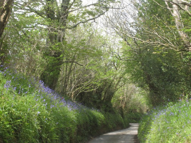 May 2012 - Bluebells down the lane on the way to the Duchy Nurseries to buy a tree.