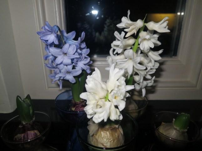 Hyacinths beginning to flower already