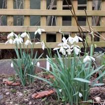 Snowdrops, Feb/Mar