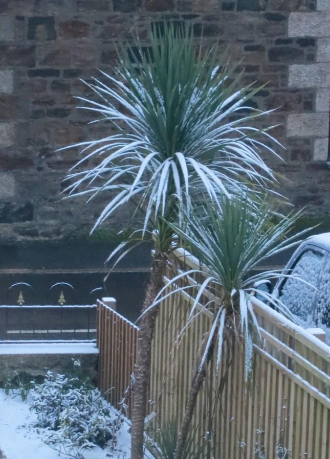 Snow on the Cordylines
