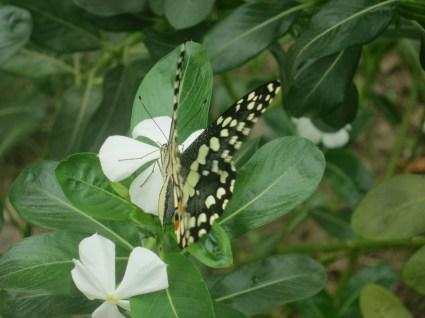 Butterfly kiss in Nepal