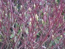Red stems and bright green buds
