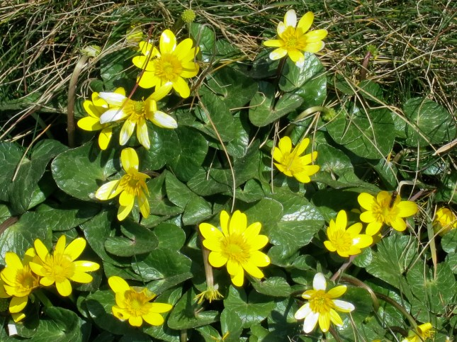 Celandines in the sunshine