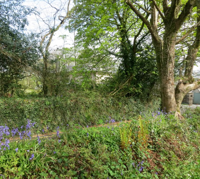 Bluebells down the lane