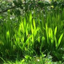 Bright green new growth of Crocosmia