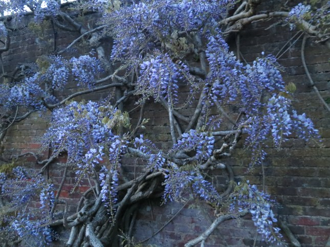 Wisteria by moonlight