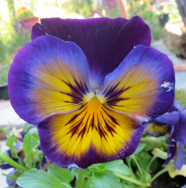 Pansy ready for planting