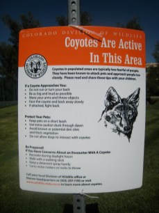 Watch out for coyotes in Colorado