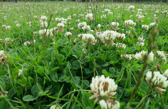Clover in the park
