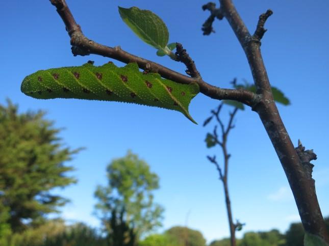 Voracious caterpillar