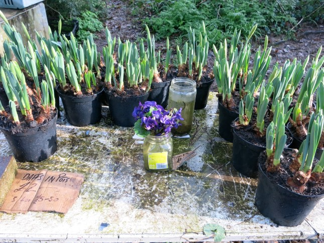 Growing Daffodils and cut Violets for sale.
