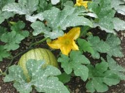 Produce in the garden