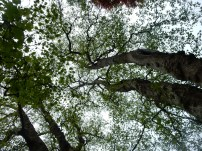Looking up into the Tulip Tree2