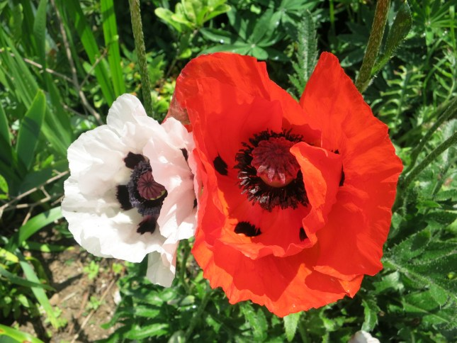 Two lovely poppies