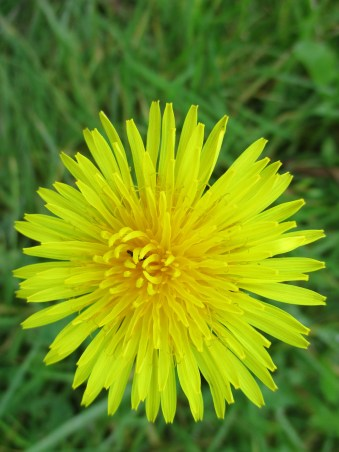 The humble glory of the Dandelion