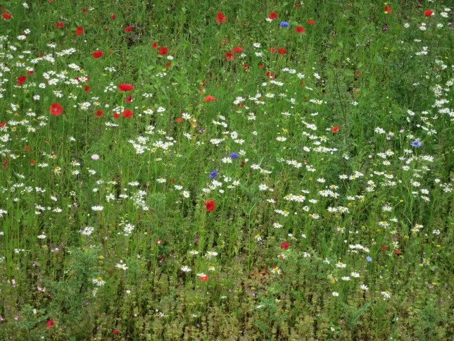 wild flower meadow